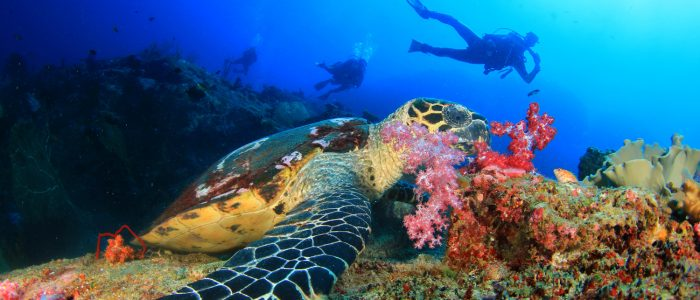Schildkröte im roten Meer