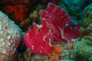 Schaukelfisch (leaf scorpion fish) in Sansibar