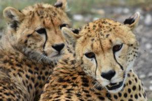 Geparde in Tansania